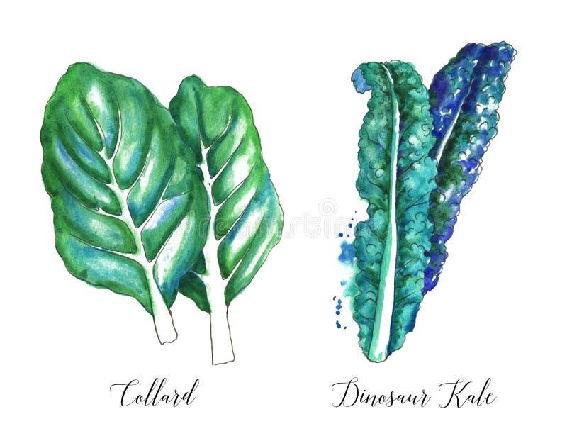 手拉的水彩沙拉叶子、新鲜的散叶甘兰和在白色背景隔绝的恐龙无头甘蓝 库存例证