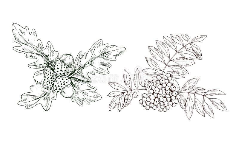 手拉的等高花揪分支用红色莓果和橡木叶子和橡子 向量 皇族释放例证
