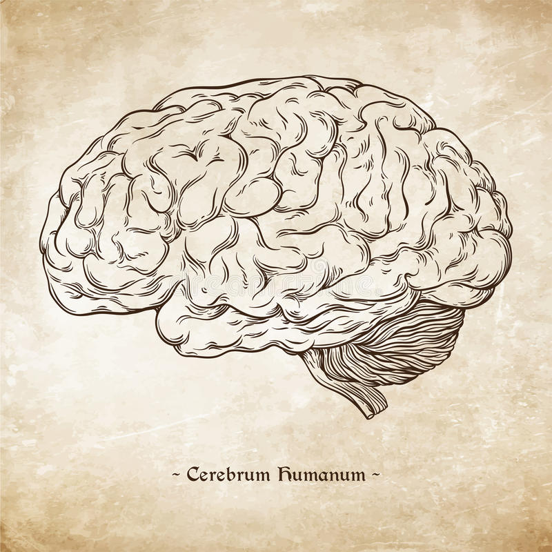 手拉的线艺术解剖上正确人脑 达芬奇速写在难看的东西年迈的纸背景传染媒介的样式 皇族释放例证