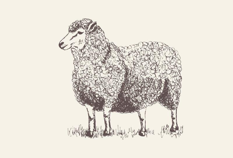 手拉的绵羊为印刷品或海报,灰色背景现出轮廓 向量例证