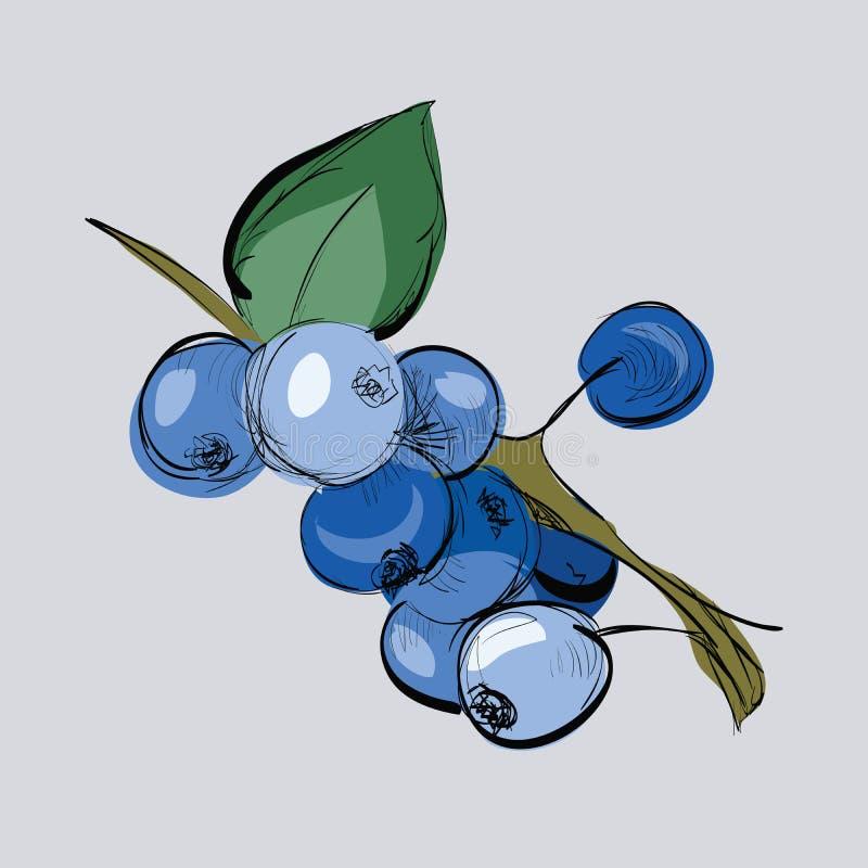 手拉的蓝莓的例证在分支的 向量例证