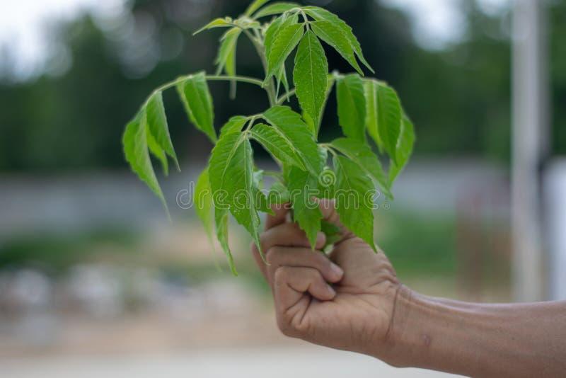 手拿着一棵绿色树 在自然图象后 图库摄影