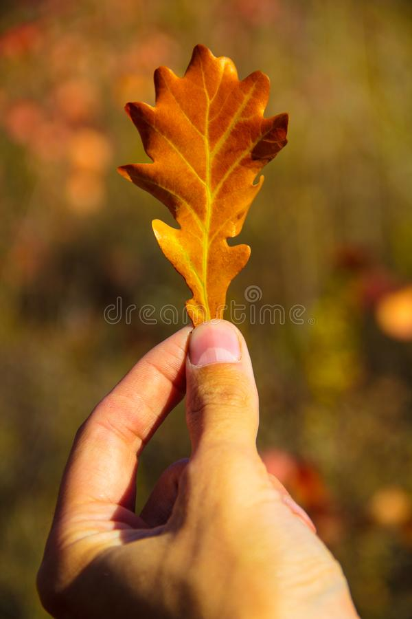 手拿着一片美丽的明亮的秋天叶子以自然为背景 免版税库存照片
