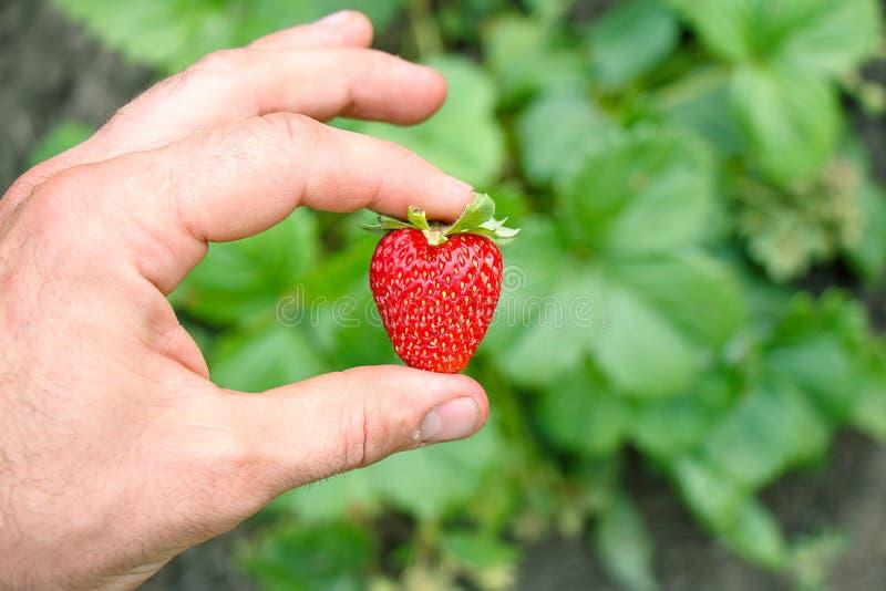 手拿着在绿色背景的一个明亮的红色成熟草莓 免版税库存照片
