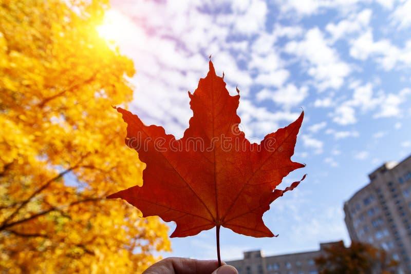 手拿着槭树一片红色叶子以秋天天空为背景 免版税图库摄影