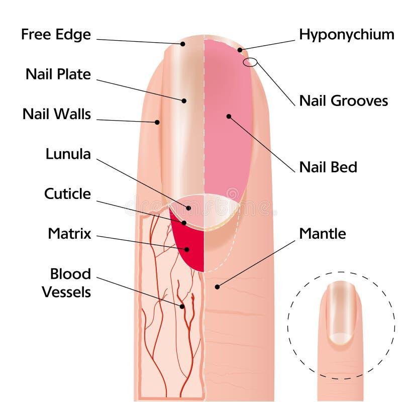 手指钉子结构 向量例证