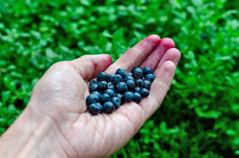 手新鲜的蓝莓的人藏品在越桔灌木背景 库存照片