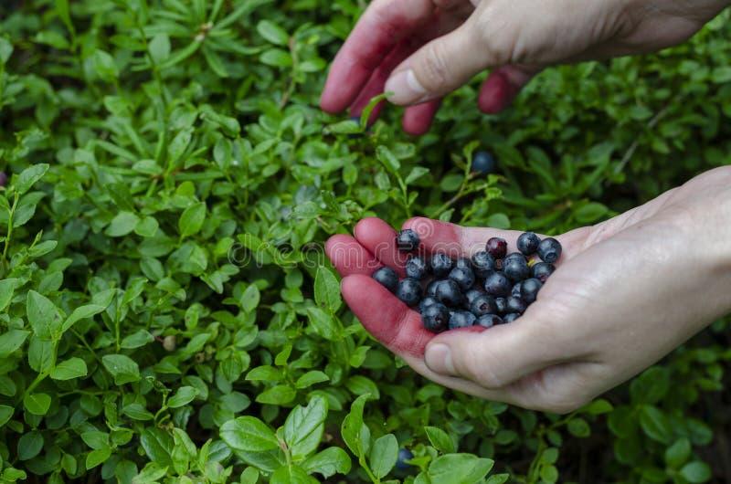 手新鲜的蓝莓的妇女藏品在越桔灌木背景 免版税库存照片