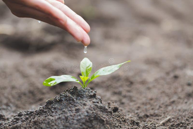 手滴下水对小幼木,植物树,减少全球性变暖,世界环境日 免版税库存图片