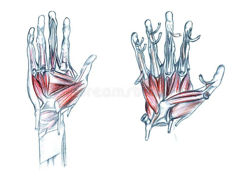 手的肌肉 皇族释放例证