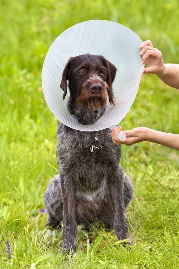 手紧固在狗的伊丽莎白女王的衣领 免版税库存照片