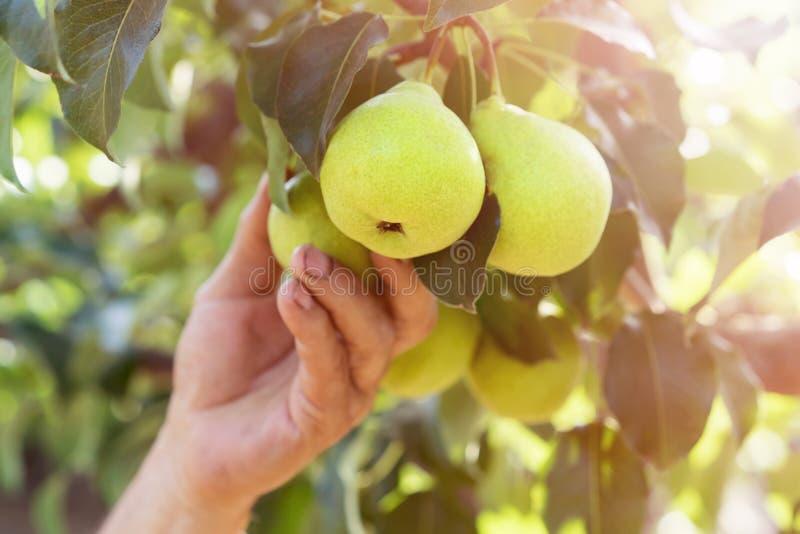 手花匠拉扯收获从树的分支的一个梨 免版税库存照片