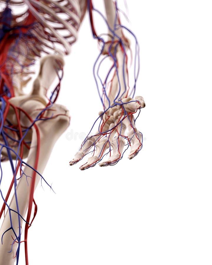 手血管 向量例证