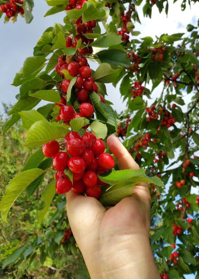 手采摘束从树的红色樱桃 图库摄影