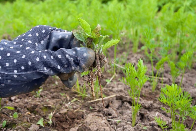 手除草在菜园里 库存图片