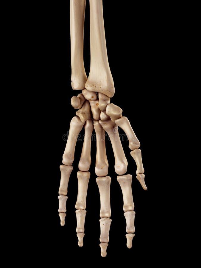 手骨头 向量例证