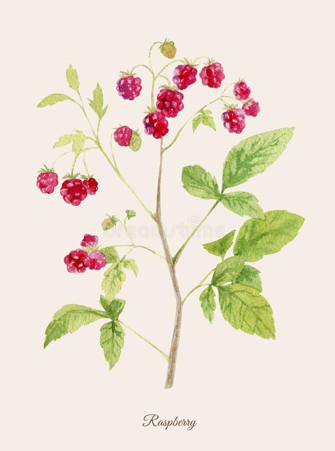 手画水彩海报用莓 皇族释放例证