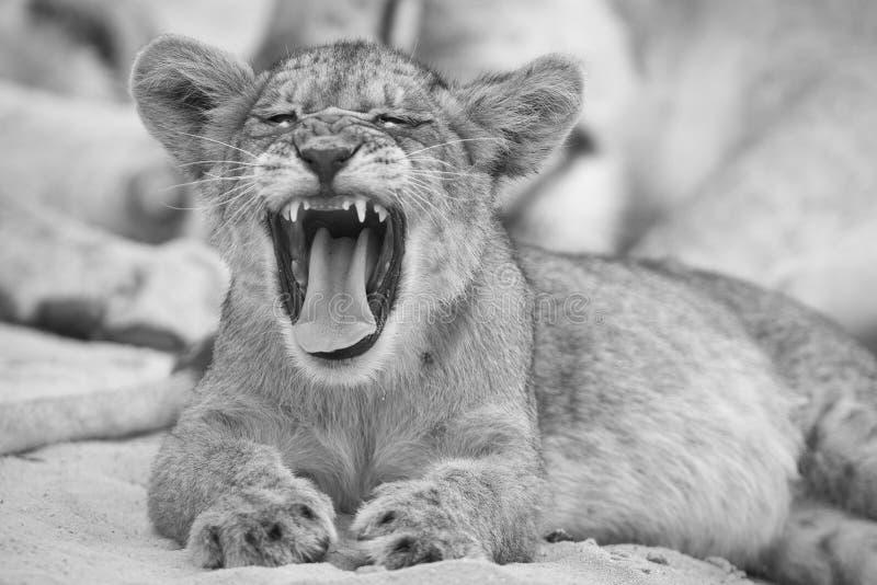 打呵欠在软的卡拉哈里沙子的小幼狮的特写镜头在ar 库存照片