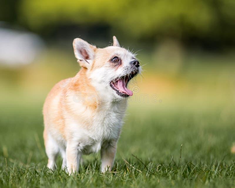 打呵欠或咆哮在领域的一条逗人喜爱的含沙小Chorkie小狗 免版税库存照片