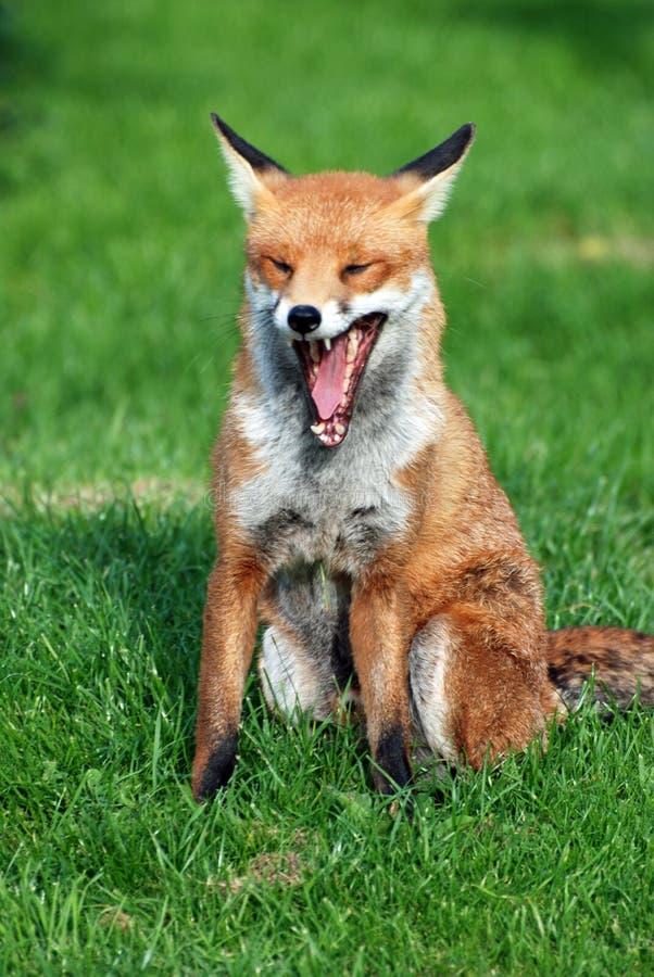 打呵欠狐狸的红色 图库摄影