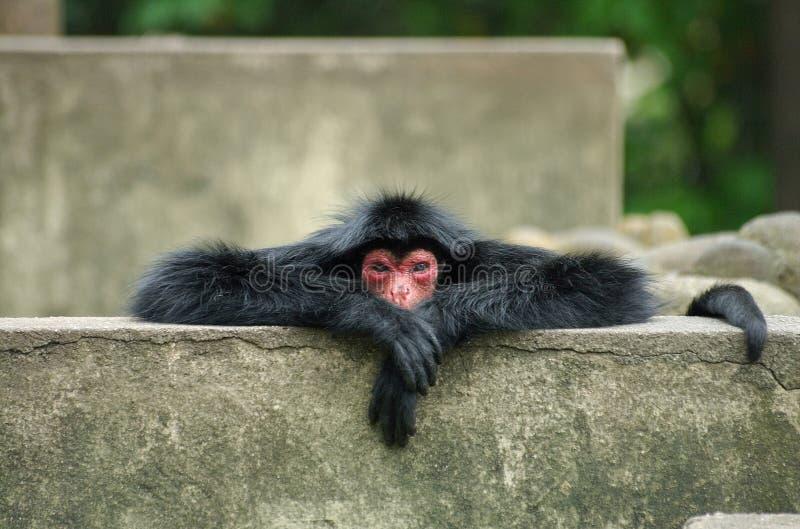 打呵欠猴子的蜘蛛 免版税库存图片