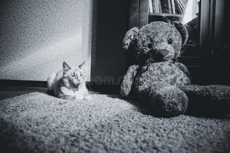 打呵欠白色的猫说谎在光正方形的一张地毯与玩具熊和书橱的和,黑白 库存照片