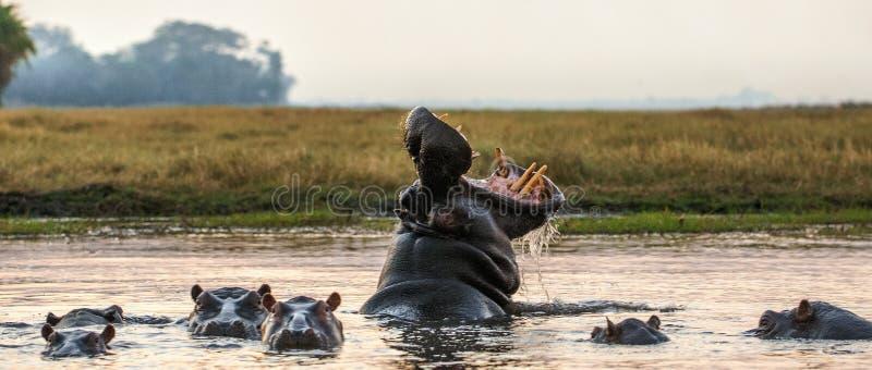 打呵欠的共同的河马在日落的水中 库存图片