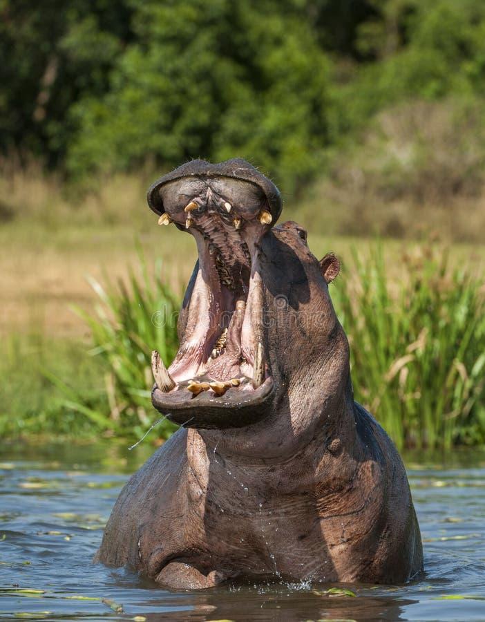 打呵欠的河马在水中 共同的河马(河马amphibius) 免版税库存照片