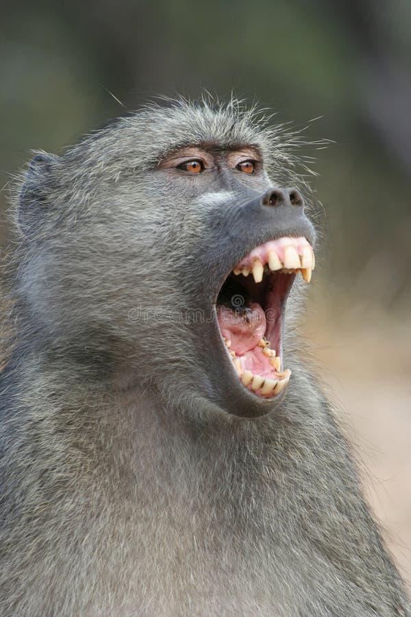 打呵欠的狒狒 库存图片