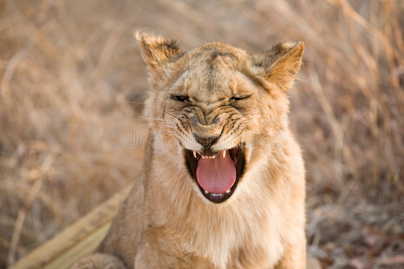 打呵欠的狮子 图库摄影