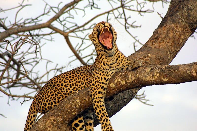 打呵欠的豹子 图库摄影