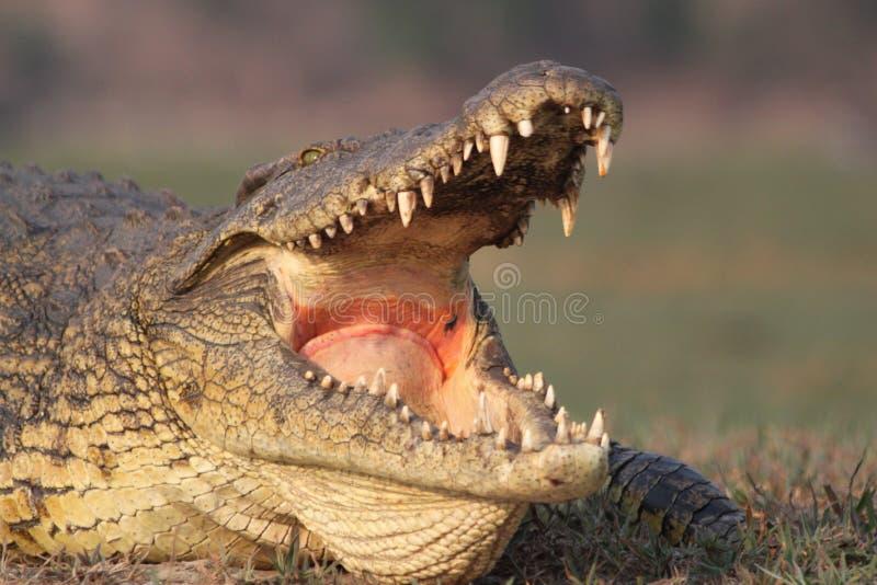 打呵欠的鳄鱼 免版税库存图片