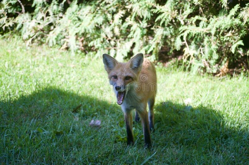 打呵欠的Fox 库存图片