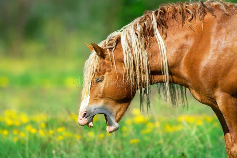打呵欠马的乐趣 免版税图库摄影