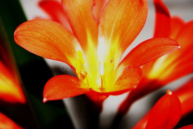 打开与被曝光过度的花粉#1的花 库存图片