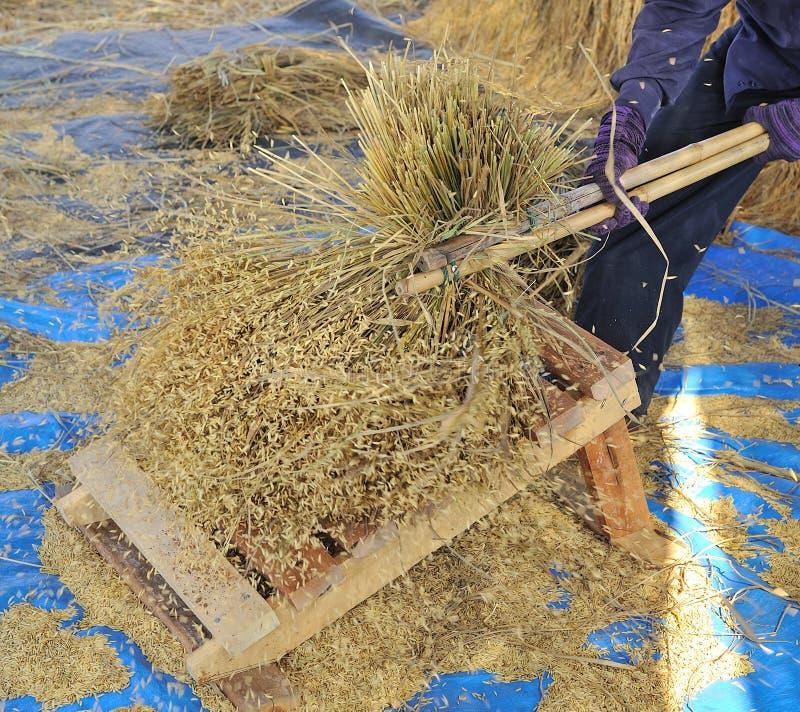 打谷传统方式的谷物 免版税库存照片