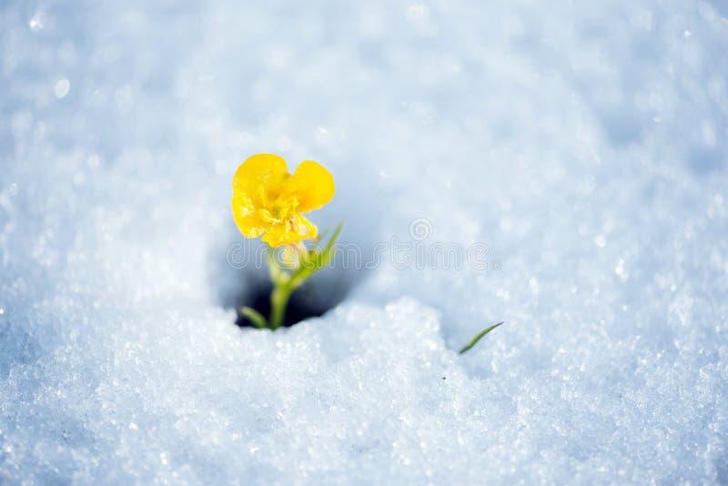 打破雪盖的易碎的黄色花 库存图片