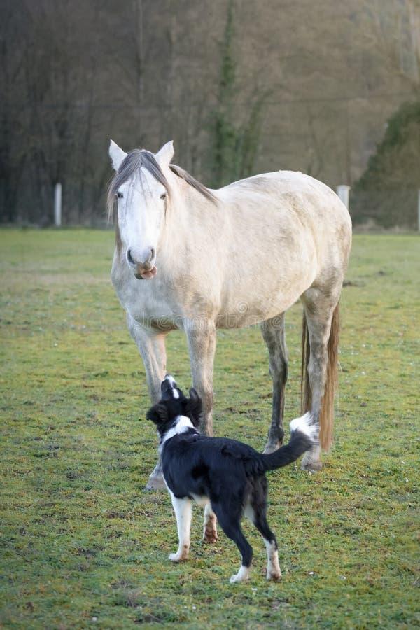扔舌头的滑稽的西班牙马到咆哮的博德牧羊犬小狗 免版税图库摄影