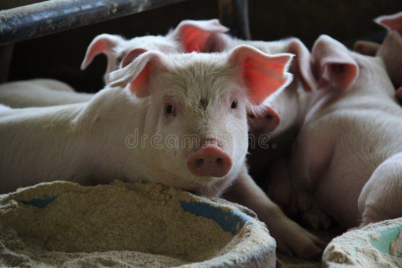 托儿所猪在分泌乳汁笔放松在现代猪农场 免版税图库摄影