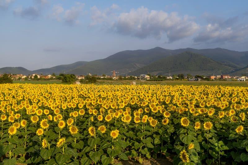 托斯坎乡下的全景在别恩蒂纳,比萨,托斯卡纳,意大利附近的,用在前景的美丽的向日葵 库存照片