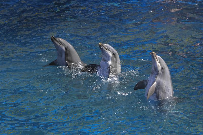 执行在水池的三只海豚 库存图片