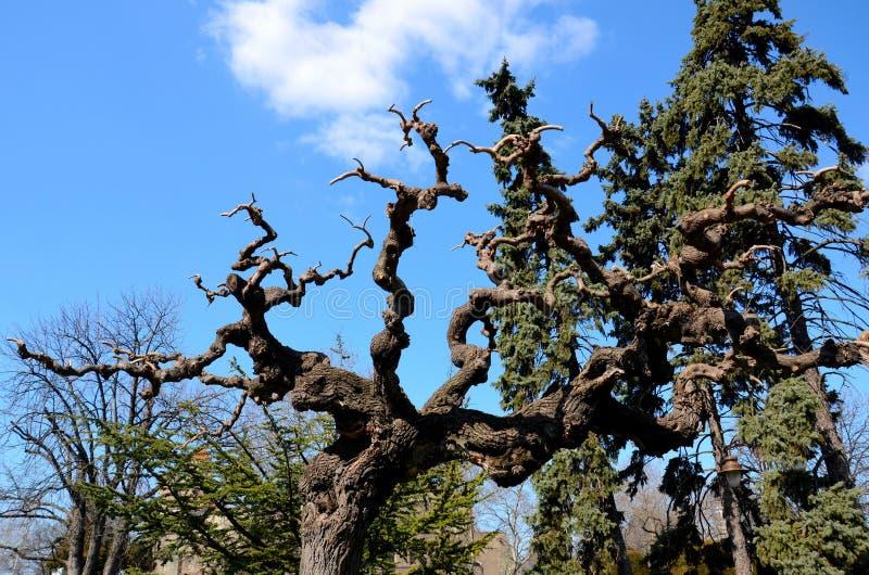 扭曲和扭转的树枝和织地不很细吠声与叶子 免版税库存图片