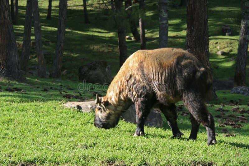 扭角羚-廷布-不丹 库存图片