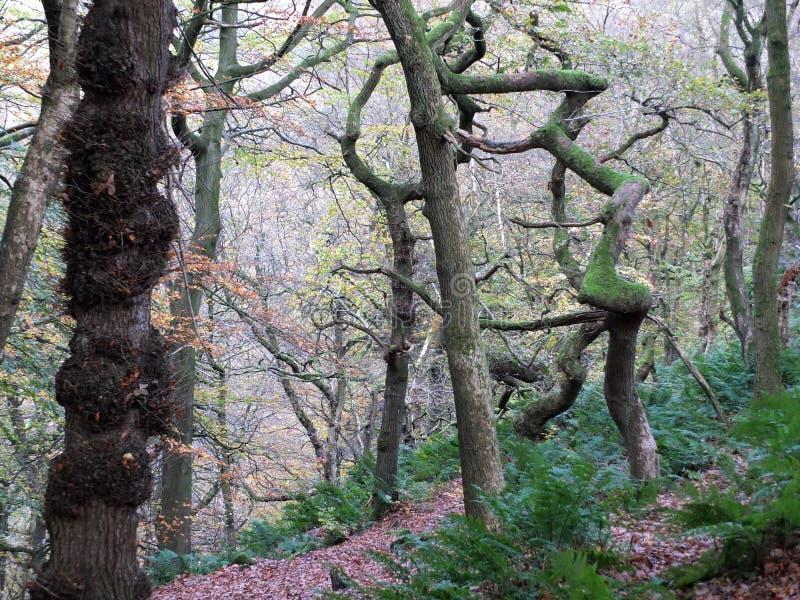 扭转的鬼的令人毛骨悚然的冬天树在有薄雾的冬天森林里 库存图片