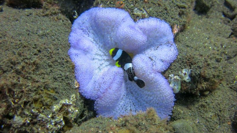 扮小丑在紫色银莲花属的鱼 双锯鱼或小丑鱼在它的自然家庭的银莲花属 免版税库存图片