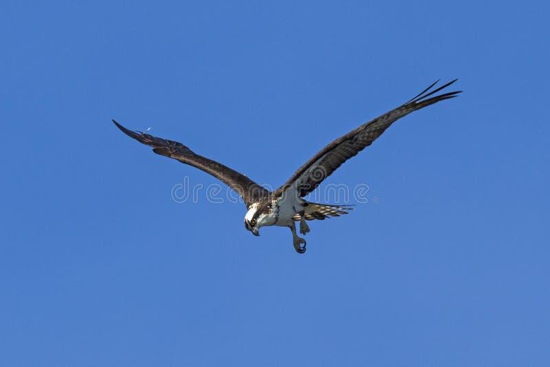 寻找下面鱼的白鹭的羽毛 免版税库存照片