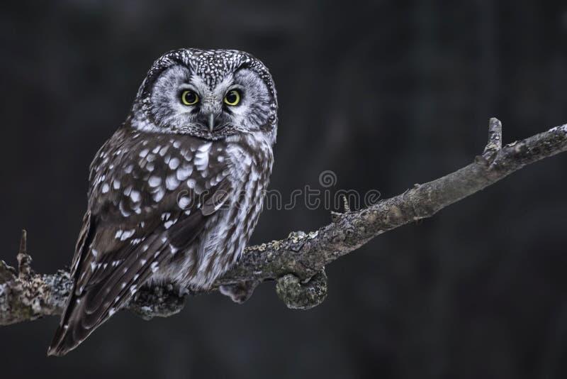 寻找北方猫头鹰, Aegolius funereus 免版税库存图片