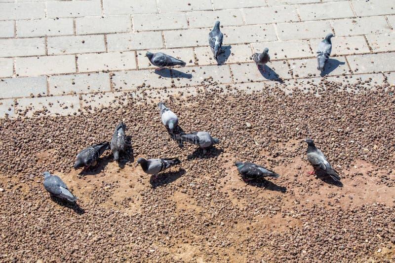 寻找在地面的城市鸽子食物 免版税库存照片