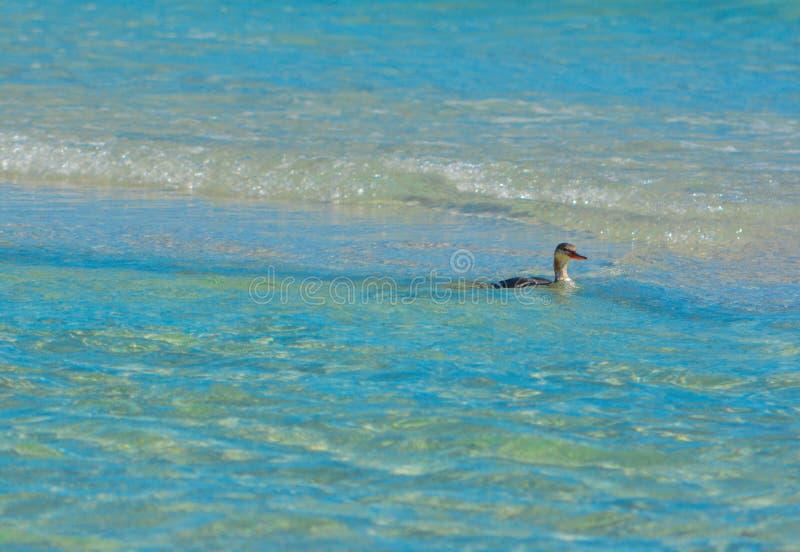 寻找在浅海浪的海鸟食物 免版税库存照片