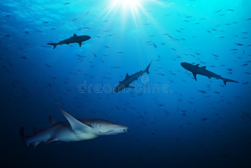 寻找小鱼的小组鲨鱼 图库摄影